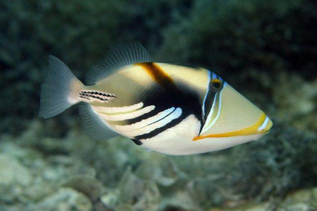 Gambar Ikan Hias Air Laut Picasso trigger