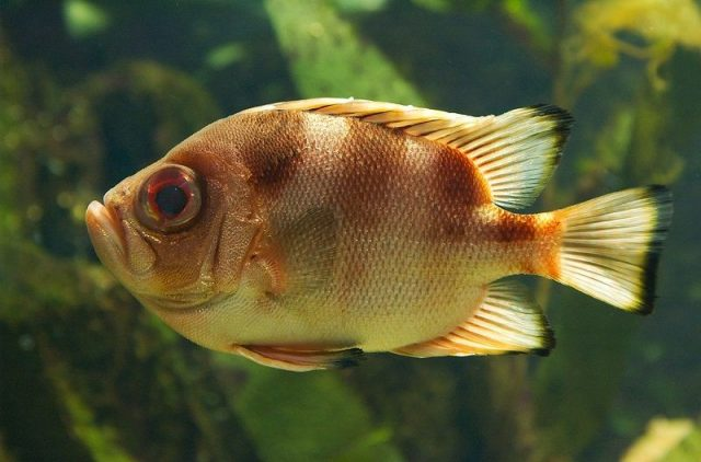 Gambar Ikan Hias Air Laut Popeye catalufa soldierfish