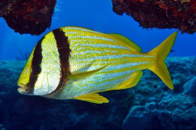 Gambar Ikan Hias Air Laut Porkfish