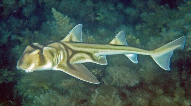 Gambar Ikan Hias Air Laut Port Jackson shark