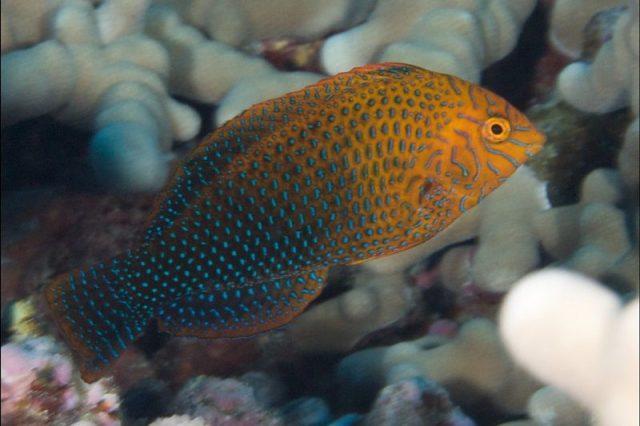 Gambar Ikan Hias Air Laut Potter's wrasse