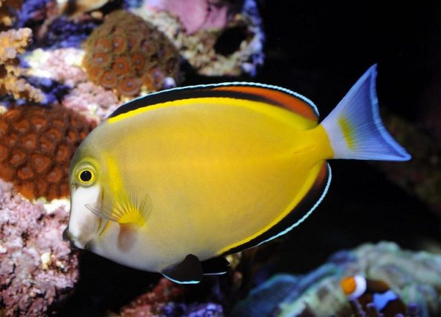 Gambar Ikan Hias Air Laut Powder brown tang
