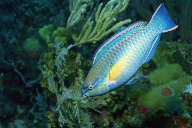 Gambar Ikan Hias Air Laut Princess parrotfish