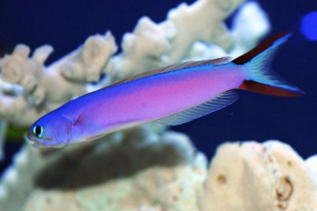 Gambar Ikan Hias Air Laut Purple tilefish