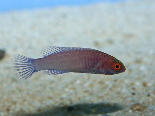 Gambar Ikan Hias Air Laut Red velvet wrasse