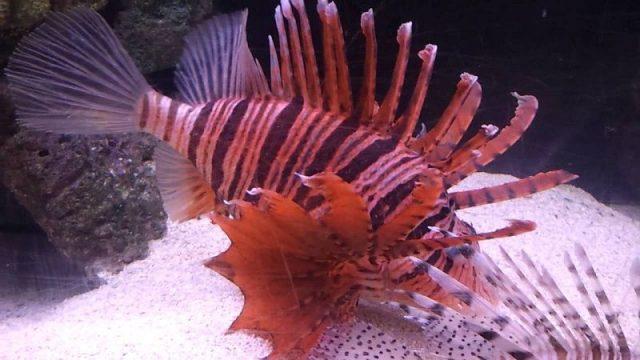 Gambar Ikan Hias Air Laut Russell's lionfish
