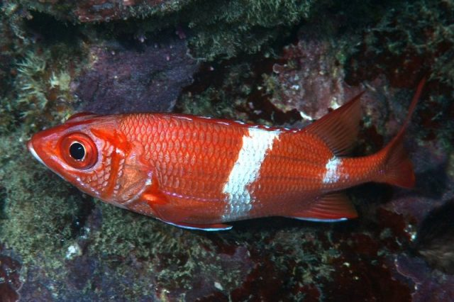 Gambar Ikan Hias Air Laut Scarlet squirrelfish