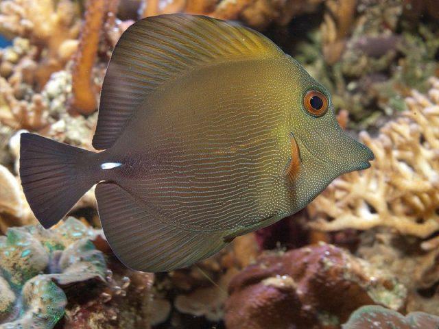 Gambar Ikan Hias Air Laut Scopas tang