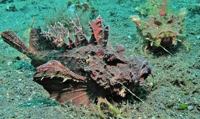 Gambar Ikan Hias Air Laut Sea goblin