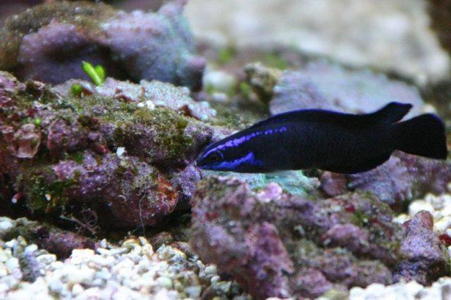 Gambar Ikan Hias Air Laut Springeri pseudochromis