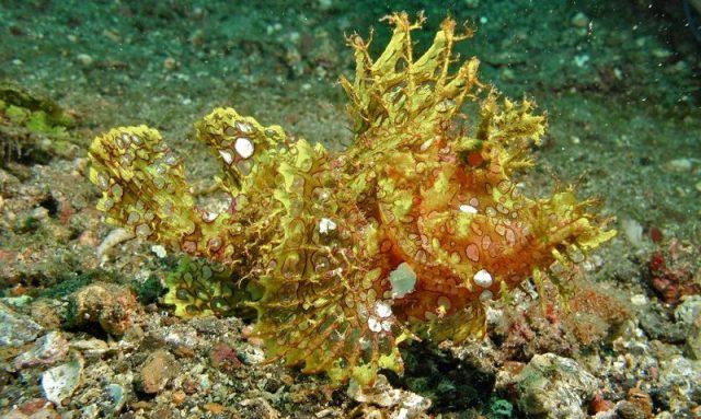 Gambar Ikan Hias Air Laut Stone fish