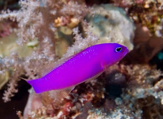 Gambar Ikan Hias Air Laut Strawberry pseudochromis atau purple pseudochromis