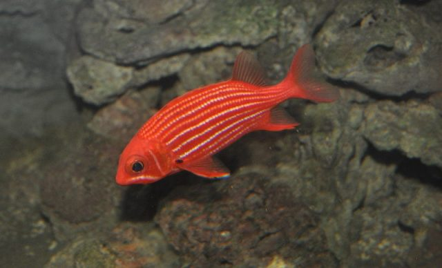 Gambar Ikan Hias Air Laut Striped squirrelfish