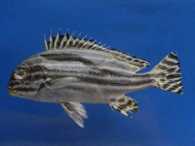Gambar Ikan Hias Air Laut Striped sweetlips
