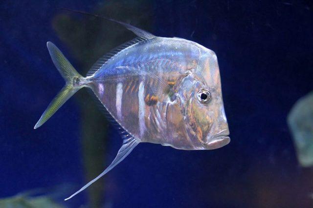 Gambar Ikan Hias Air Laut Threadfin lookdown