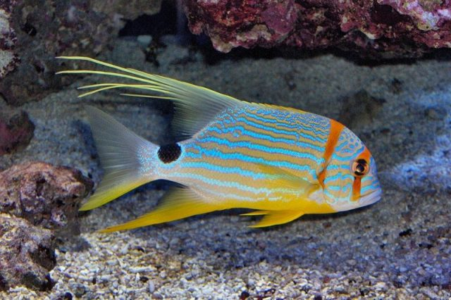 Gambar Ikan Hias Air Laut Threadfin snapper