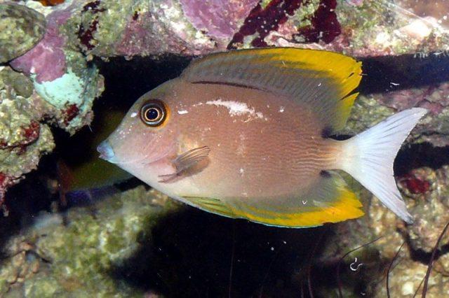 Gambar Ikan Hias Air Laut Tomini tang
