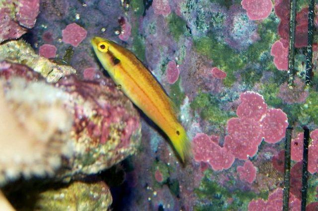Gambar Ikan Hias Air Laut Twin spot hogfish