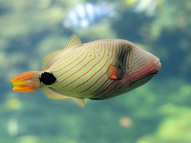 Gambar Ikan Hias Air Laut Undulated trigger