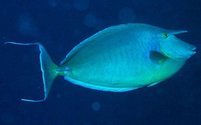 Gambar Ikan Hias Air Laut Unicorn tang