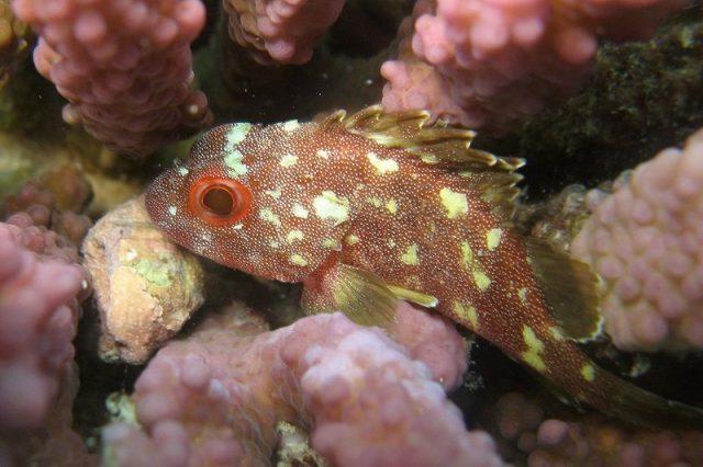 Gambar Ikan Hias Air Laut Weedy scorpionfish