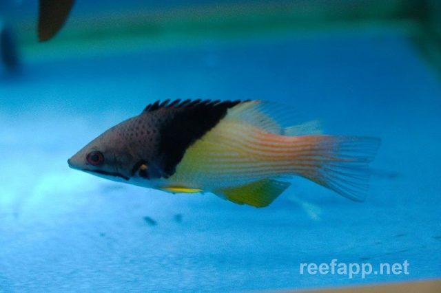 Gambar Ikan Hias Air Laut White Coral hogfish