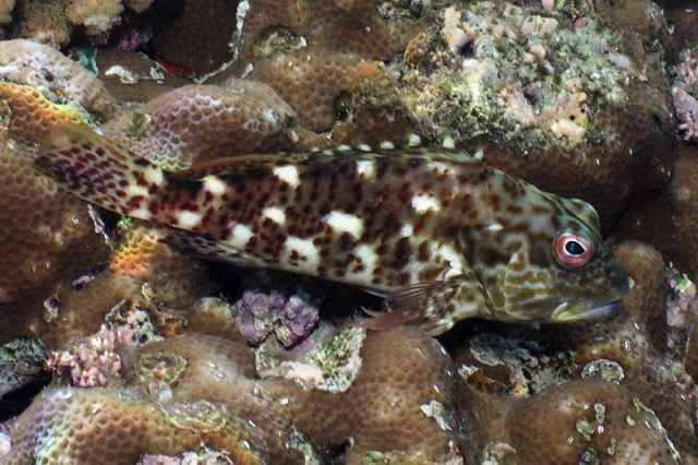 Gambar Ikan Hias Air Laut White Spotted hawkfish