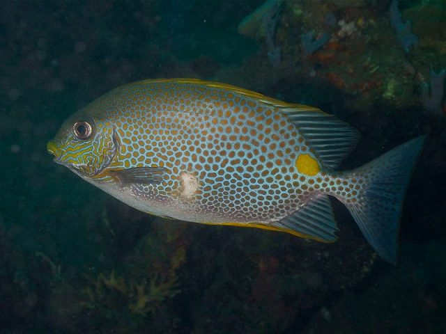 Gambar Ikan Hias Air Laut Yellow Blotch Rabbitfish