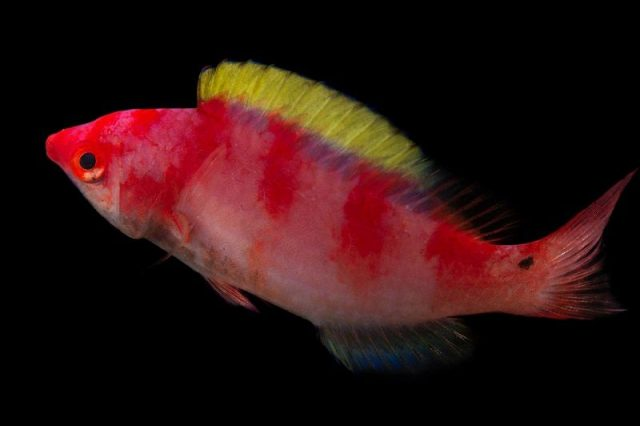 Gambar Ikan Hias Air Laut Yellow fin fairy wrasse