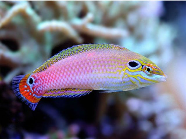 Gambar Ikan Hias Air Laut Yellow & purple wrasse