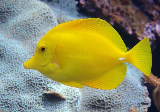 Gambar Ikan Hias Air Laut Yellow tang