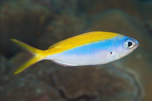 Gambar Ikan Hias Air Laut Yellowback fusilier