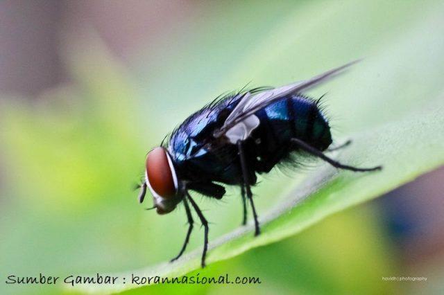 Nama Hewan Dari Huruf L Lalat