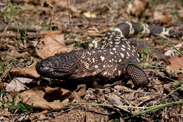Gambar Kadal Beaded Lizard Jenis Kadal Yang Bisa Dipelihara