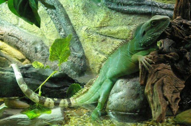 Gambar Kadal Chinese Water Dragon Jenis Kadal Yang Bisa Dipelihara