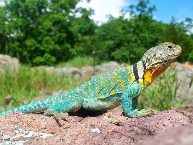 Gambar Kadal Collared Lizard Jenis Kadal Yang Bisa Dipelihara