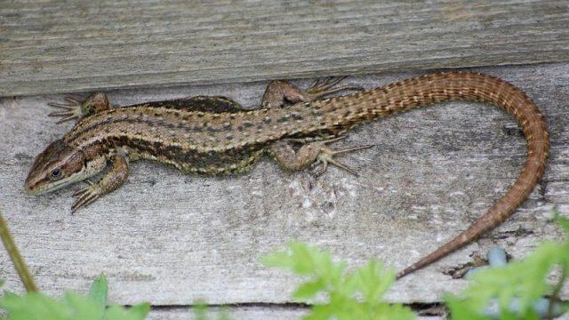 Gambar Kadal Common Lizard Jenis Kadal Yang Bisa Dipelihara