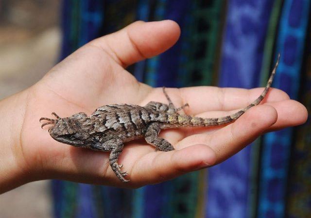 Gambar Kadal Eastern Fence Lizard Jenis Kadal Yang Bisa Dipelihara