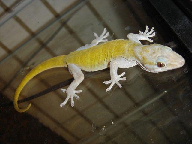 Gambar Kadal Golden Gecko Jenis Kadal Yang Bisa Dipelihara