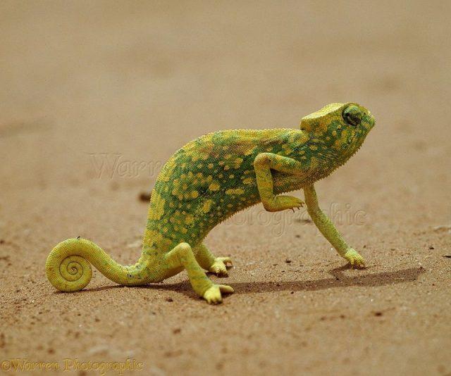 Gambar Kadal Graceful Chameleon Jenis Kadal Yang Bisa Dipelihara