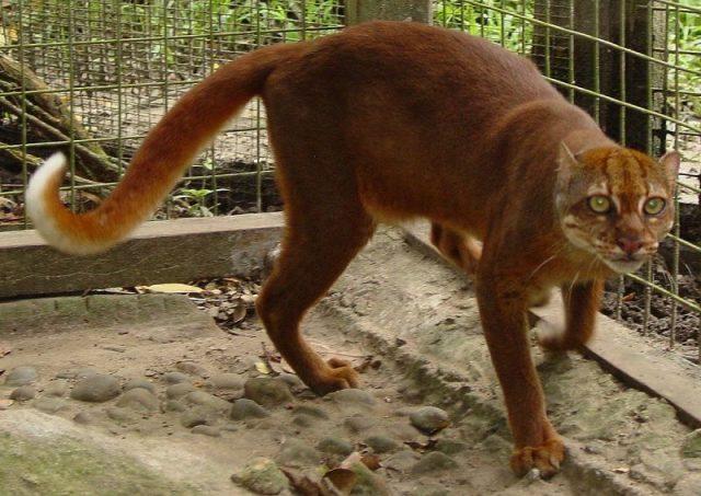Dambar Kucing Merah atau Kucing Kalimantan Dan 10 Hewan Langka Di Kalimantan