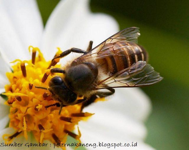 Lebah Nama Hewan Dari Huruf L