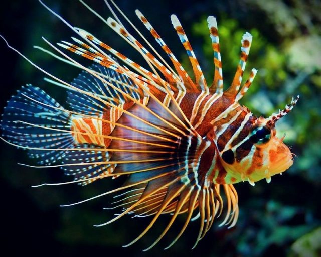 Gambar Lionfish Nama Hewan Dari Huruf L