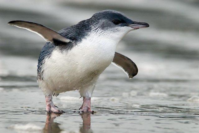 Gambar Little Penguin Nama Hewan Dari Huruf L
