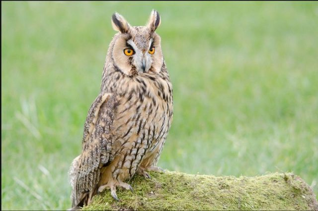 Gambar Long-Eared Owl
