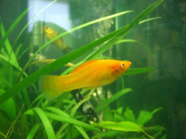Gambar Nama Hewan Awalan Huruf M Molly fish