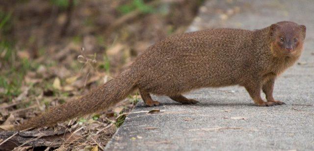Gambar Nama Hewan Awalan Huruf M Mongoose