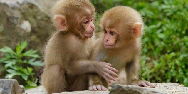Gambar Nama Hewan Awalan Huruf M Monkey