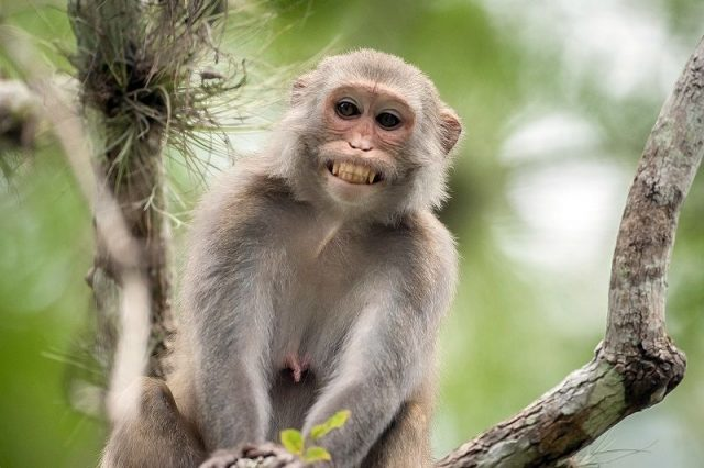 Gambar Nama Hewan Awalan Huruf M Monyet