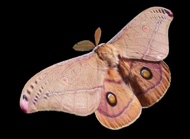 Gambar Nama Hewan Awalan Huruf M Moth